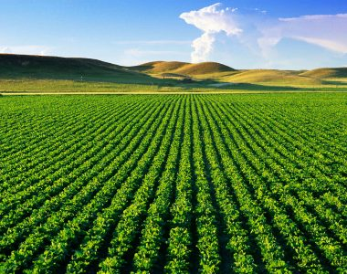 Rows of sugarbeets in Yellowstone River Valley noted for their production in Sidney, Montana, USA