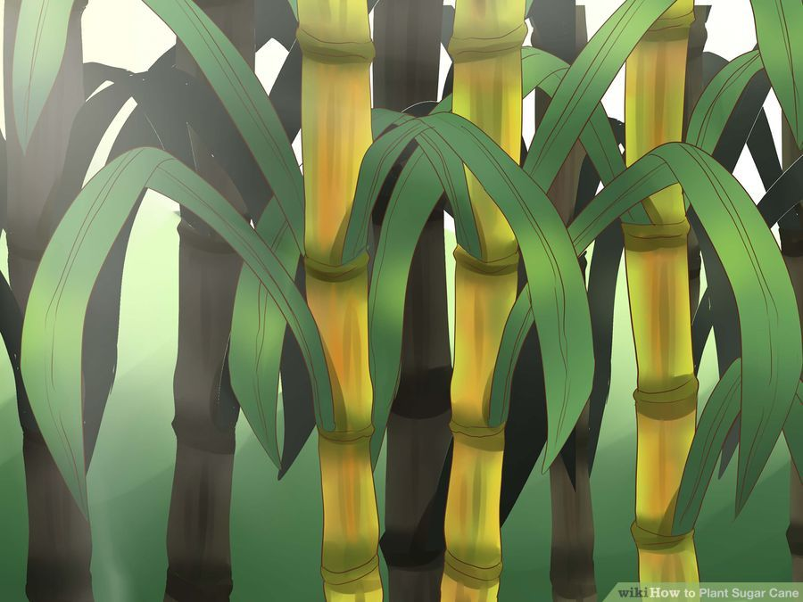 aid955688-900px-plant-sugar-cane-step-1-version-2